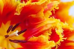 Pétalas de um fim da tulipa acima Fotografia de Stock Royalty Free