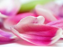 Pétalas de uma tulipa Foto de Stock