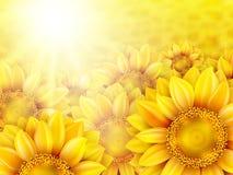 Pétalas do girassol com sol do verão Eps 10 Imagens de Stock Royalty Free