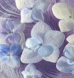 Pétalas do Hydrangea Foto de Stock Royalty Free