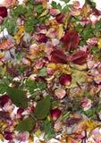 Pétalas e folhas secadas coloridas Fotos de Stock