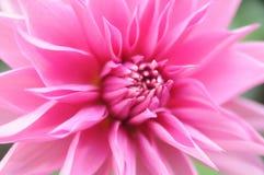 Pétalas em uma flor Imagens de Stock Royalty Free