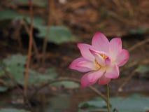 Pétalas largas de Lotus Pink Flower Petals com ponta aguçado um interno curvado ao interior foto de stock royalty free