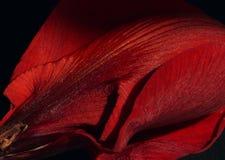 Pétalas vermelhas aveludado Imagens de Stock Royalty Free