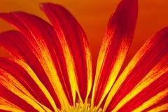 Pétalas vermelhas encantadoras da flor Fotos de Stock Royalty Free