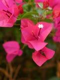 Pétalas vermelhas & uma flor branca Imagens de Stock Royalty Free