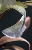 Pétale blanc d'iris Photographie stock