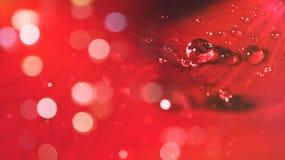 Pétale de fleur de Rose avec des gouttelettes d'eau Photographie stock
