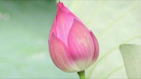 Pétale de fleur de Lotus Photo stock