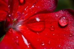 Pétale de rose avec la rosée Images libres de droits