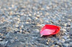 Pétale de rose rouge sur l'asphalte images libres de droits