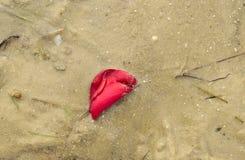 Pétale de rose sur la plage Photo libre de droits