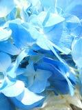Pétale mou d'hortensia bleu Photo stock