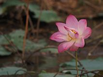 Pétale rose de fragilité de Lotus sacré de Nelumbo et fleur jaune de pollen dans le boraphet de bondon d'étang photographie stock