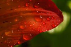 Pétale rouge de fleur dans les baisses de la photo de macro de rosée Photos stock