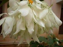 Pétales blancs Image stock