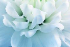Pétales blancs de Blured de plan rapproché de chrysanthème photos stock