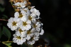 Pétales blancs de Spiraea Photos libres de droits
