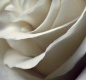 Pétales brouillés des roses Image libre de droits
