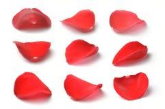 Pétales d'une rose rouge d'isolement Photo stock