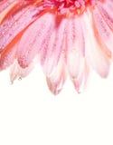 Pétales de fleur avec des baisses de l'eau Image stock