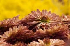 Pétales de fleur avec des baisses de rosée Image stock