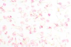 pétales de fleur d'oeillet sur le blanc photographie stock