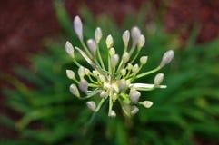 Pétales de fleur prêts à s'ouvrir et fleurir Image libre de droits