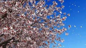 Pétales de fleur de fleur de Sakura dans le mouvement lent 4K banque de vidéos