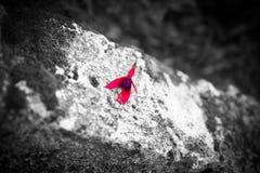 Pétales de Fushia Image libre de droits