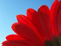Pétales de gerbera rouge Photographie stock libre de droits