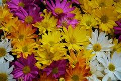Pétales de jaune de violette blanche et fleurs vifs, fond naturel, beauté de jardin Photographie stock libre de droits