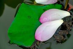 Pétales de Lotus Images libres de droits