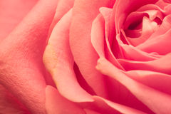 Pétales de macro de rose de rose Image libre de droits