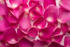 Pétales de rose. Image stock