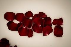 Pétales de rose aléatoires sur le fond blanc Grand pour le presentat Images libres de droits