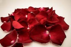Pétales de rose aléatoires sur le fond blanc Grand pour le presentat Photo libre de droits