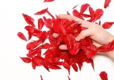 Pétales de rose dans une main. D'isolement Photographie stock libre de droits