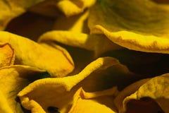 Pétales de rose de effacement jaunes Photographie stock