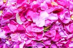 Pétales de Rose roses 01 Images stock