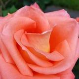 Pétales de Rose roses 01 Photo stock