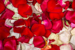 Pétales de Rose roses 01 Photos stock
