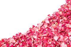 Pétales de rose roses au-dessus du fond blanc Images stock