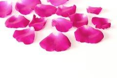 Pétales de rose roses le fond blanc avec l'espace de copie, la fleur de concept de l'amour et le jour de valentine photo libre de droits