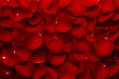 Pétales de Rose rouges au maximum image stock