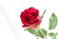 Pétales de rose rouges avec l'espace de copie pour le jour de valentines Photo stock