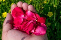 Pétales de rose rouges dans les paumes photo stock