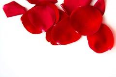 Pétales de rose sur le fond blanc Image libre de droits