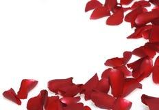 Pétales de Rose sur le fond blanc Images stock
