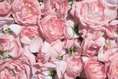 Pétales de rose de thé Culture industrielle de Rose contenant de l'huile Image libre de droits